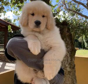 1-3 Month Female Purebred Golden Retriever | Dogs & Puppies for sale in Lagos State, Ikoyi