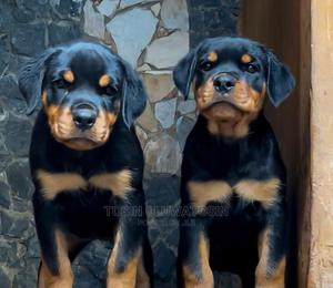 1-3 Month Female Purebred Rottweiler | Dogs & Puppies for sale in Lagos State, Ikoyi