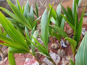 Dwarf and Hybrid Coconut Seedlings | Feeds, Supplements & Seeds for sale in Edo State, Benin City