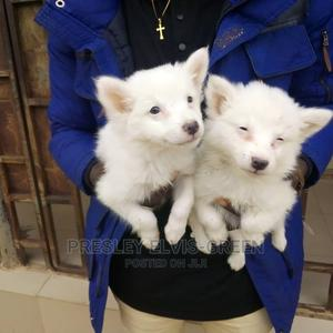 1-3 Month Female Purebred American Eskimo   Dogs & Puppies for sale in Rivers State, Port-Harcourt