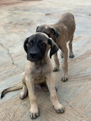 1-3 Month Male Purebred Boerboel   Dogs & Puppies for sale in Oyo State, Egbeda