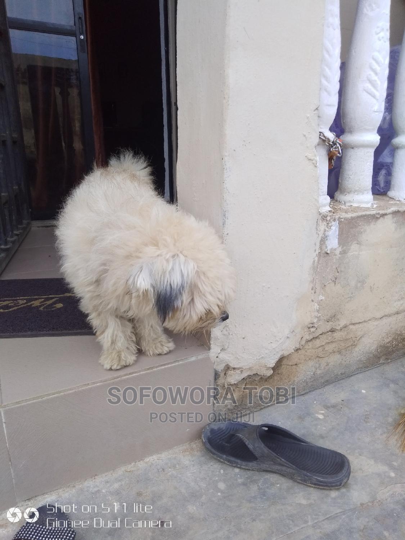 1+ Year Male Purebred Lhasa Apso