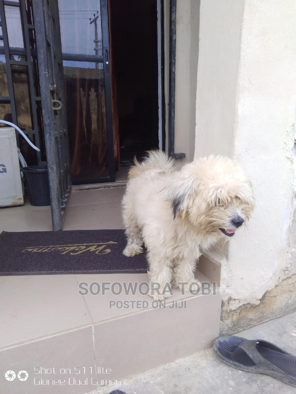 1+ Year Male Purebred Lhasa Apso   Dogs & Puppies for sale in Ikorodu, Lagos State, Nigeria