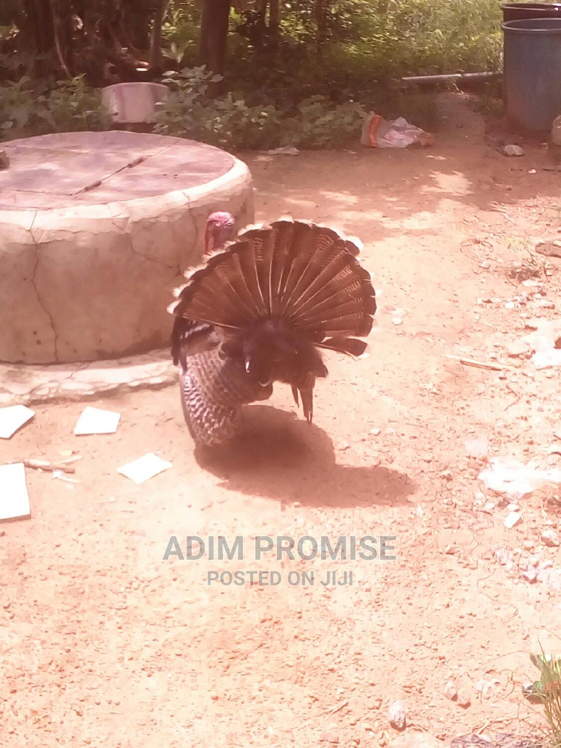 Adult Male Turkey For Sale | Livestock & Poultry for sale in Bwari, Abuja (FCT) State, Nigeria