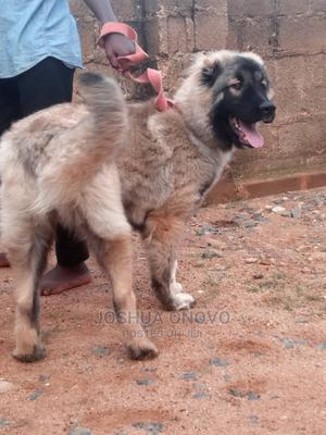 6-12 Month Female Purebred Caucasian Shepherd   Dogs & Puppies for sale in Abuja (FCT) State, Asokoro