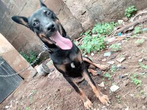 6-12 Month Female Mixed Breed German Shepherd | Dogs & Puppies for sale in Oyo State, Ibadan