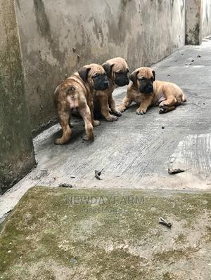 1-3 Month Female Purebred Boerboel | Dogs & Puppies for sale in Ogun State, Ado-Odo/Ota
