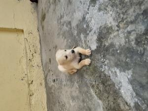 1-3 Month Male Mixed Breed Caucasian Shepherd | Dogs & Puppies for sale in Lagos State, Ojo