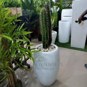 Best Cactus Fiber Plant for Sale at Affordable Price   Garden for sale in Lagos State, Ikeja