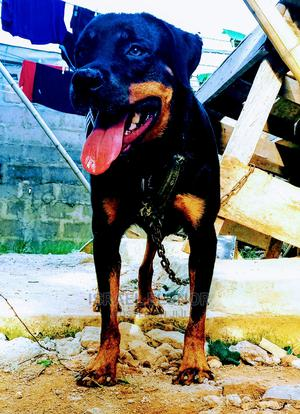6-12 Month Male Purebred Rottweiler | Dogs & Puppies for sale in Edo State, Benin City