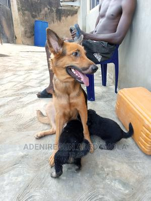 1+ Year Female Purebred German Shepherd | Dogs & Puppies for sale in Ogun State, Abeokuta South