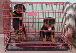 1-3 Month Male Purebred Rottweiler | Dogs & Puppies for sale in Akwa Ibom State, Uyo