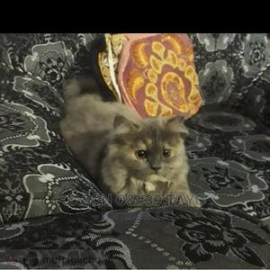 1-3 Month Male Purebred Persian   Cats & Kittens for sale in Lagos State, Ajah