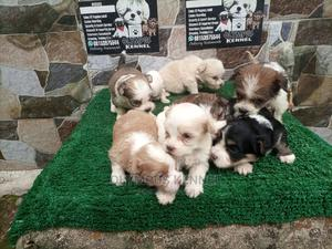 0-1 Month Female Purebred Lhasa Apso   Dogs & Puppies for sale in Edo State, Benin City