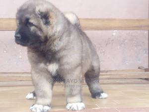 1-3 Month Female Purebred Caucasian Shepherd | Dogs & Puppies for sale in Ondo State, Akure