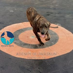 3-6 Month Male Purebred Boerboel | Dogs & Puppies for sale in Oyo State, Ibadan