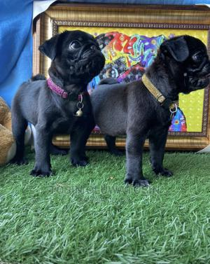 1-3 Month Female Purebred Pug   Dogs & Puppies for sale in Lagos State, Ikeja