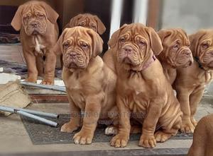 1-3 Month Female Purebred Mastiff | Dogs & Puppies for sale in Abuja (FCT) State, Wuse 2