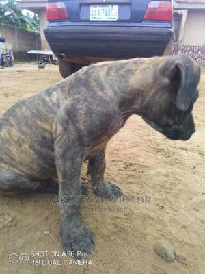 1-3 Month Female Purebred Boerboel | Dogs & Puppies for sale in Ondo State, Akure