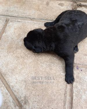 0-1 Month Female Mixed Breed Boerboel | Dogs & Puppies for sale in Abuja (FCT) State, Lokogoma