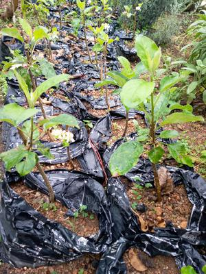 Apple Seedlings for Sale | Feeds, Supplements & Seeds for sale in Plateau State, Jos