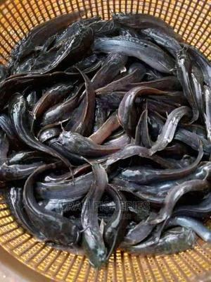 Juvenile Catfish | Livestock & Poultry for sale in Lagos State, Alimosho