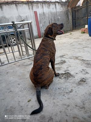 6-12 Month Male Mixed Breed Rottweiler | Dogs & Puppies for sale in Lagos State, Amuwo-Odofin