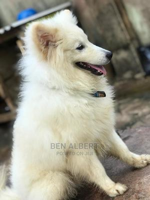 0-1 Month Female Purebred American Eskimo   Dogs & Puppies for sale in Lagos State, Ikorodu