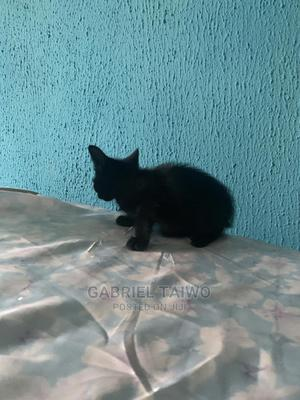 1-3 Month Male Purebred Bombay | Cats & Kittens for sale in Oyo State, Ibadan