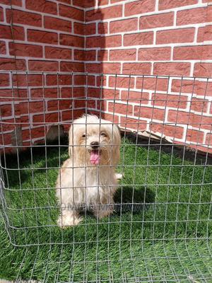 1+ Year Female Purebred Lhasa Apso | Dogs & Puppies for sale in Ogun State, Ado-Odo/Ota