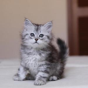 1-3 Month Male Purebred Siberian | Cats & Kittens for sale in Lagos State, Ikeja