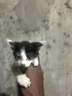 1-3 Month Female Mixed Breed American Shorthair   Cats & Kittens for sale in Rivers State, Port-Harcourt