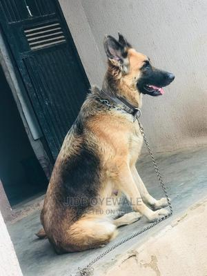 3-6 Month Male Purebred German Shepherd | Dogs & Puppies for sale in Osun State, Osogbo