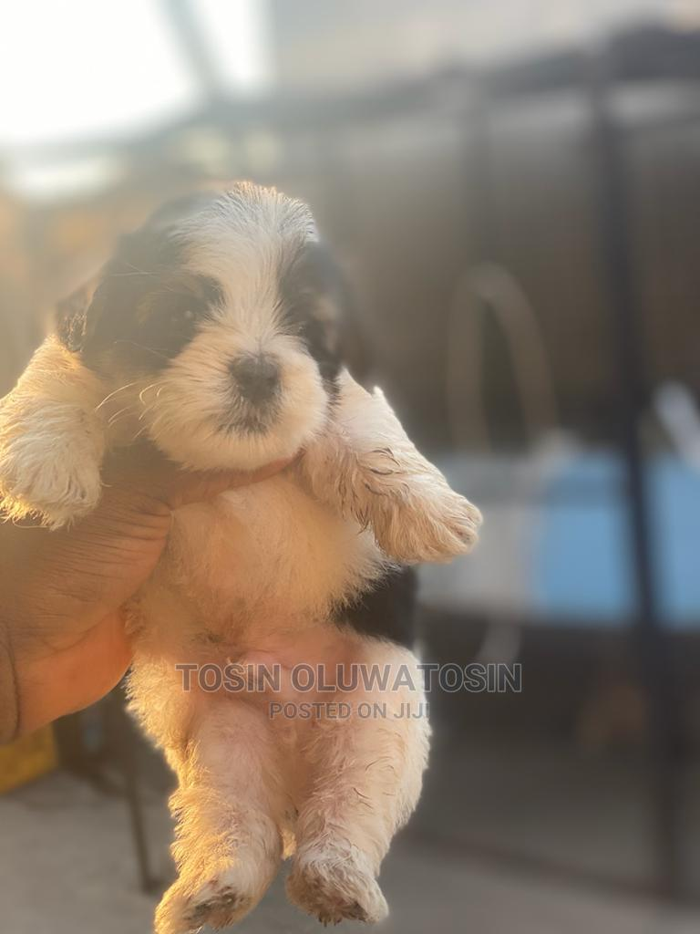 1-3 Month Male Purebred Lhasa Apso | Dogs & Puppies for sale in Ikeja, Lagos State, Nigeria