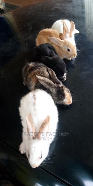 High Quality Rabbit Weaners Available for Sales!   Other Animals for sale in Oyo State, Ibadan