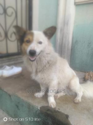 1+ Year Male Mixed Breed American Eskimo | Dogs & Puppies for sale in Anambra State, Oyi