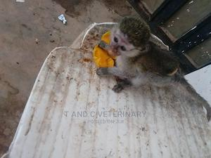 Baby Monkey   Other Animals for sale in Lagos State, Agege