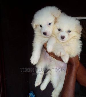 1-3 Month Male Purebred American Eskimo | Dogs & Puppies for sale in Lagos State, Ikeja