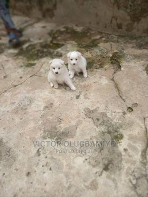 1-3 Month Male Purebred American Eskimo | Dogs & Puppies for sale in Oyo State, Oluyole