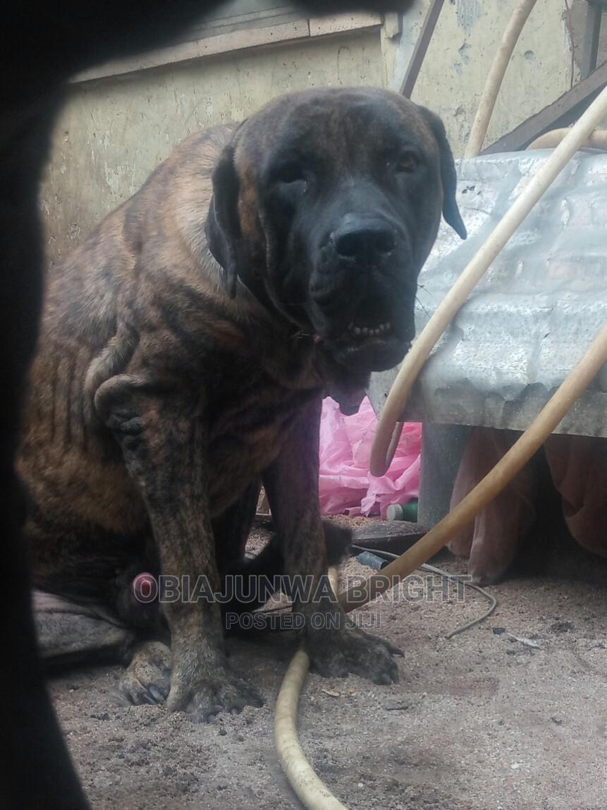 1+ Year Male Purebred Boerboel   Dogs & Puppies for sale in Owerri, Imo State, Nigeria