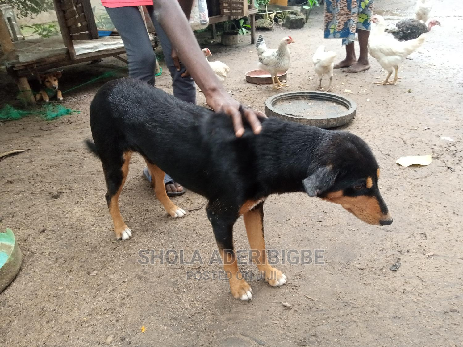 1+ Year Male Mixed Breed Dog | Dogs & Puppies for sale in Agege, Lagos State, Nigeria
