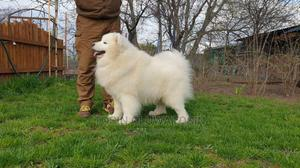 1-3 Month Female Purebred Samoyed | Dogs & Puppies for sale in Lagos State, Ikoyi