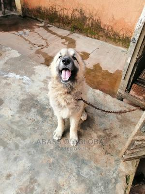 1+ Year Male Purebred Caucasian Shepherd   Dogs & Puppies for sale in Ogun State, Ijebu Ode