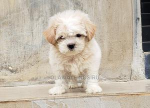 1-3 Month Female Purebred Lhasa Apso   Dogs & Puppies for sale in Lagos State, Maryland