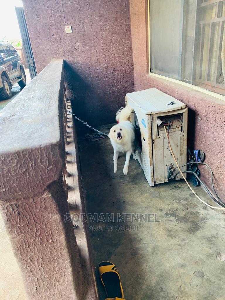 1+ Year Male Purebred American Eskimo | Dogs & Puppies for sale in Onitsha, Anambra State, Nigeria