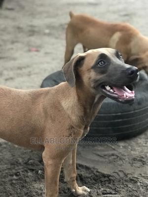 1+ Year Female Purebred Boerboel | Dogs & Puppies for sale in Lagos State, Ojo