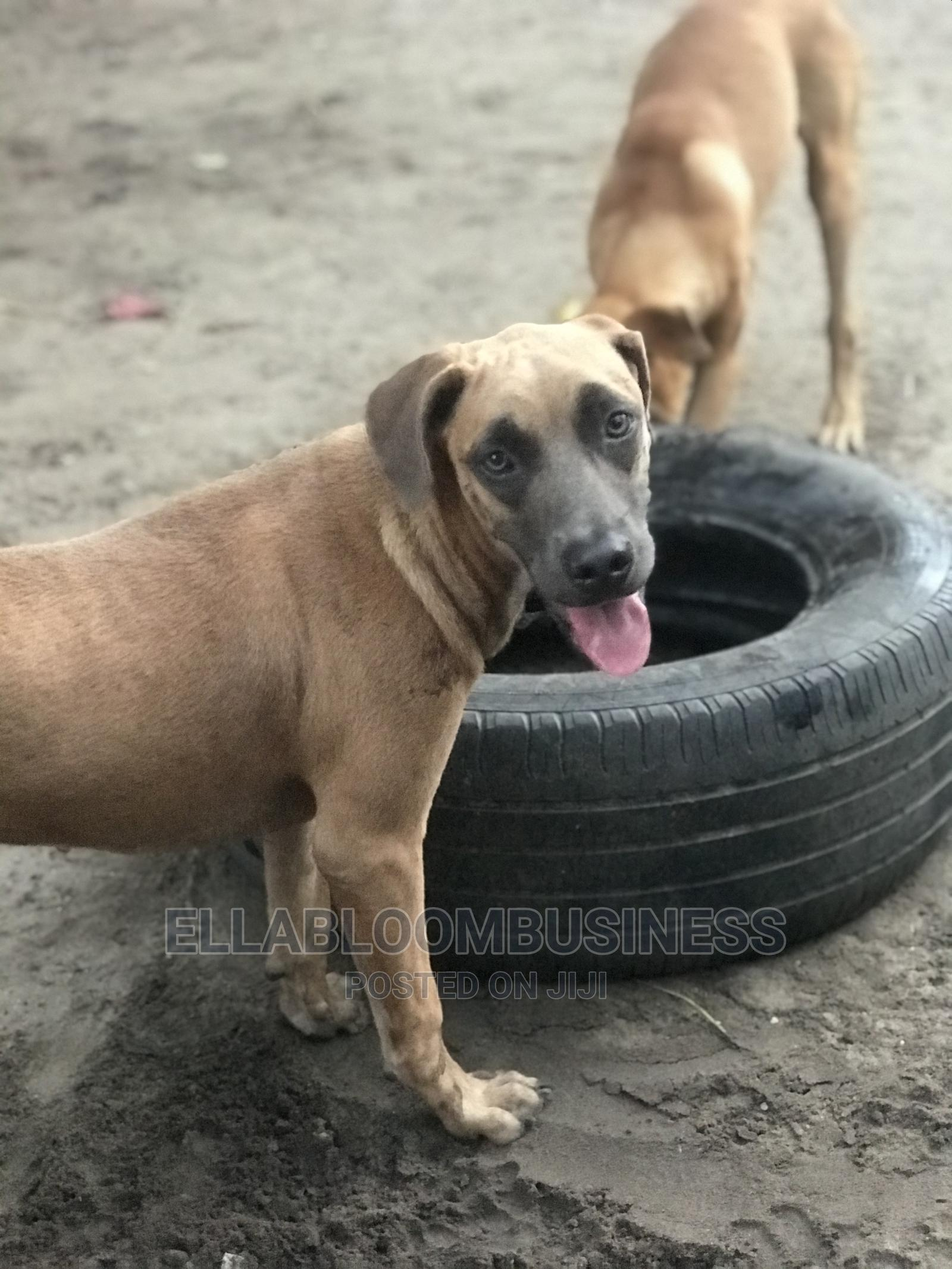 1+ Year Female Purebred Boerboel   Dogs & Puppies for sale in Ojo, Lagos State, Nigeria