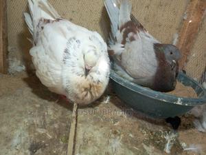 Mondaine Pigeons | Birds for sale in Katsina State, Katsina