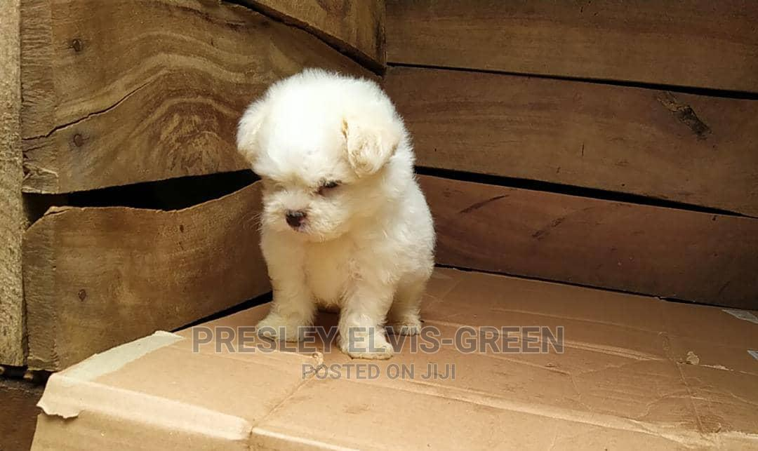1-3 Month Male Purebred Lhasa Apso | Dogs & Puppies for sale in Port-Harcourt, Rivers State, Nigeria