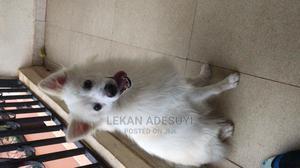 1+ Year Male Purebred American Eskimo | Dogs & Puppies for sale in Lagos State, Ipaja